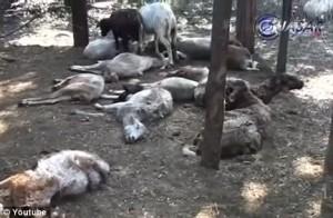 Matanza de ovejas Michoacan Chupacabras