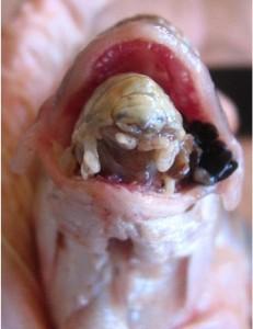 Parásito de pez come su lengua