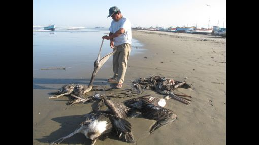 pelicanos-muertos-peru