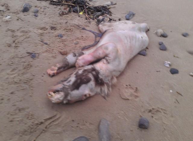 Extraña 'bestia mutante' aparece muerta en playa del Reino Unido.