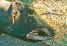 Argentina: mutilaciones de ganado en Santiago del Estero