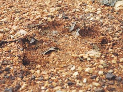 Huellas halladas en 2013 en Malasia, miren su inmenso tamaño
