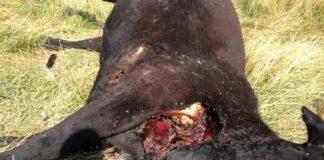Cadáver de vaca mutilada encontrada en rancho de Missouri – Crédito: ufocasebook