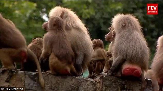 Comportamiento extraño de babuinos en zoológico holandés: dan la espalda a visitantes y pierden el apetito