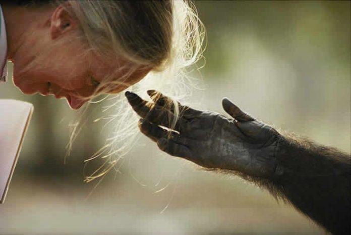 Jane Godall y un chimpancé en rehabilitación. Foto: Michael Nichols