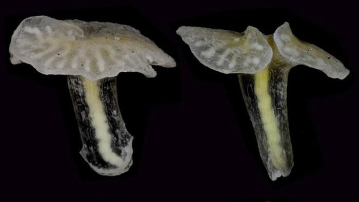 Las extrañas criaturas fueron recogidas de las profundidades del mar en 1986 durante un crucero de investigación fuera de Tasmania