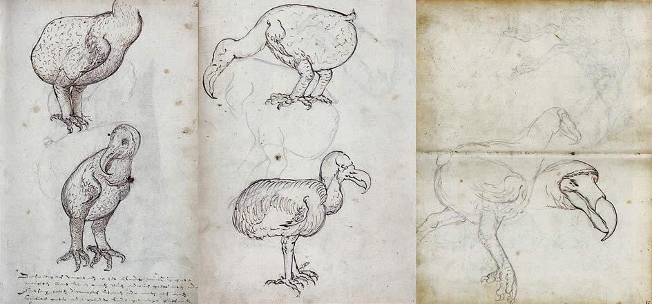 """Dibujos de dodos, hechos en el diario de viaje del barco """"Gelderland"""" de la Compañía Holandesa de las Indias Orientales"""