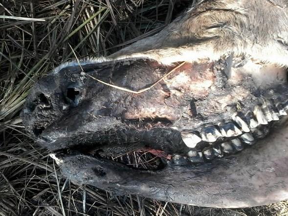 Vaca mutilada encontrada en Calchaquí.