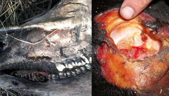 Dueños de ganado en localidades de Santa Fé sufren pérdidas de animales en extrañas circunstancias.