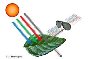 La luz polarizada reflejada de la hoja contiene una huella de biopigmentos. Estas firmas biológicas se pueden detectar con un filtro de polarización, que se muestra aquí como un par de gafas de sol.