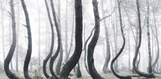 Este bosque de Polonia está lleno de árboles torcidos y nadie puede explicar por qué